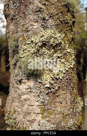 Close up de lichen et de mousse sur tronc d'arbre Banque D'Images