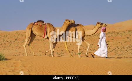 Un Bédouin promenades avec deux chameaux à travers le désert de Wahiba Sands en Oman. Strictement parlant, les animaux sont des dromadaires qui, contrairement à l'Arctique et des chameaux, n'ont qu'une bosse. Dans le monde d'utilisation   Banque D'Images