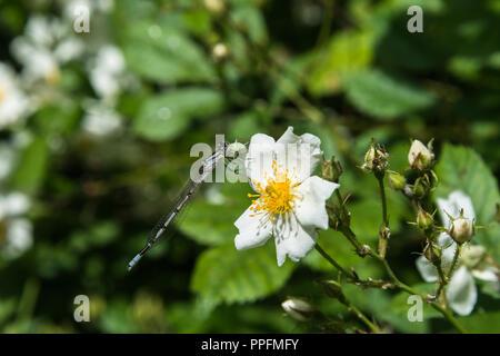Près d'une demoiselle d'azur sur un wild rose fleur dans une prairie en bordure des bois de l'été soleil, Lancashire, England, UK.