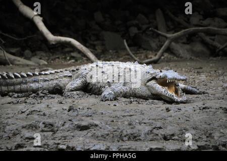 Les crocodiles sauvages dans les banques du Canyon au Chiapas, Mexique. Canyon du Sumidero (Espagnol: Cañón del Sumidero) est un profond canyon naturel . Banque D'Images