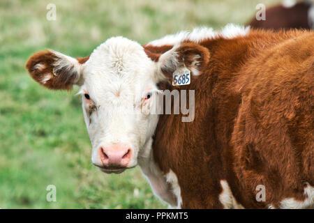 Granby Canada,9,septembre,2012.Troupeau de bovins Hereford se reposant dans un champ.Credit:Mario Beauregard/Alamy Live News