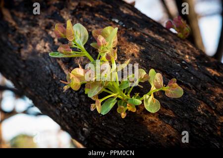 Nouvelle vie de germination gum tree en Australie de l'Ouest Banque D'Images