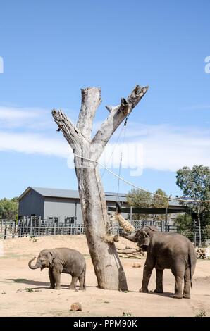 Une femelle éléphant avec jeune veau au Zoo de Taronga Western Plains, Dubbo NSW Australie.