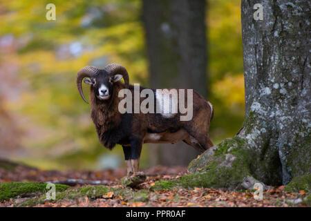 Europaeischer Mufflon Ovis gmelini musimon (), Daun, Eifel, Deutschland Banque D'Images