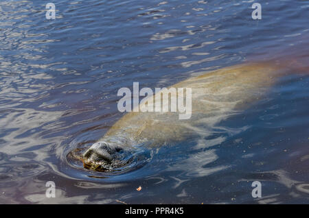 Floride lamantins (Trichechus manatus latirostris) piscine en Floride, USA. Banque D'Images