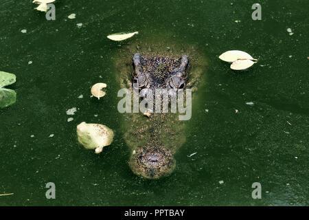Crocodile (Crocodylus siamensis siamois) dans la région de marais vert Banque D'Images