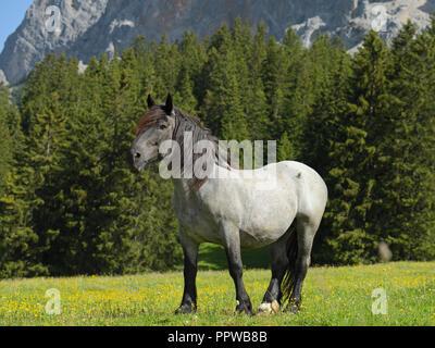 Cheval lourd à Ehrwald alp, Tyrol, Autriche Banque D'Images