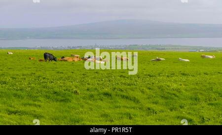 Typique de l'Irlande - les vaches de gazonner sur le large champs verts Banque D'Images