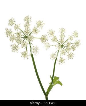 Angelica archangelica fleurs isolé sur fond blanc Banque D'Images