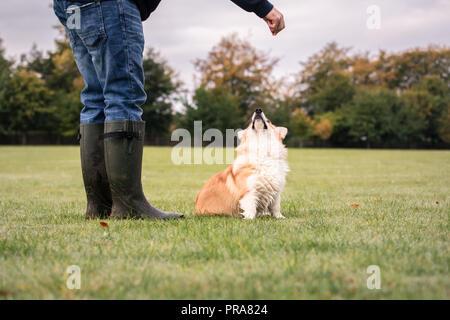 6 mois du Welsh Corgi Pembroke en automne avec le propriétaire