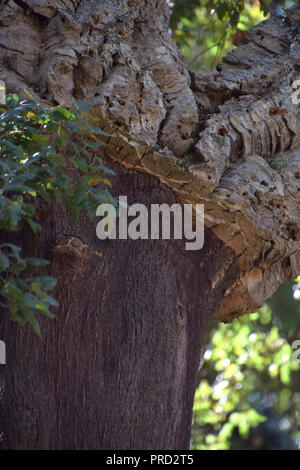 Arbre Quercus suber, le chêne-liège Quercus suber ou en Sardaigne en méditerranée Banque D'Images