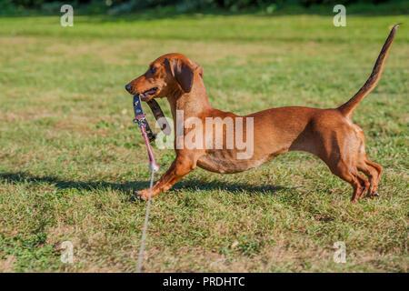 Beau chien saucisse jouant avec sa laisse sur l'herbe