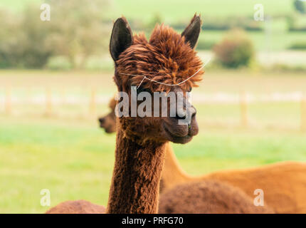 Close up of brown alpaca Banque D'Images