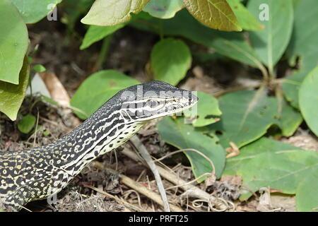 Le Goanna sable ou moniteur de Gould, Varanus gouldii, Chili, Kutini-Payamu (Iron Range National Park), Far North Queensland, Australie Banque D'Images