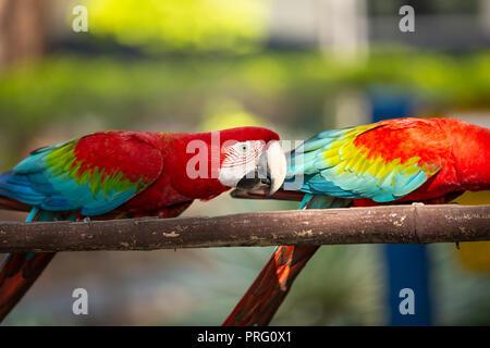 Macaw perroquets colorés dans les chargeurs de l'alimentation préparée pour eux. à l'extérieur photo Banque D'Images