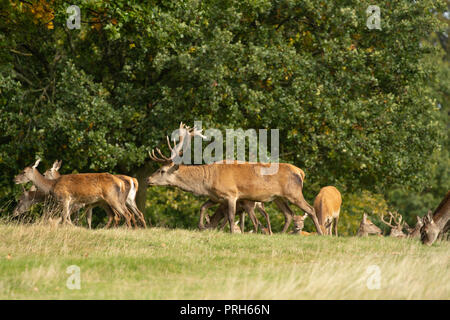 Red Stag Deer Chasing Hinds, Studley Royal Deer Park, Ripon, North Yorkshire, Royaume-Uni. Banque D'Images