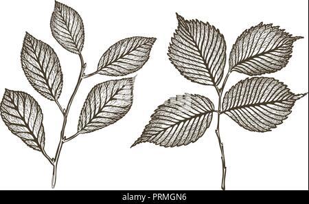 Arbre généalogique de brindille dessiné à la main avec des feuilles. Sketch vintage vector illustration Banque D'Images