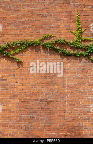 Lierre vert sur le côté de la maison de brique rouge Banque D'Images