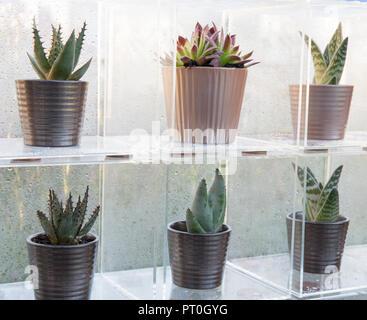 L'affichage des boîtes de perspex une collection de plantes succulentes poussant dans des pots en céramique, Sempervivum, 'Paradisicum Aloe', à la maison, cultiver, manger, se détendre, RHS Ma
