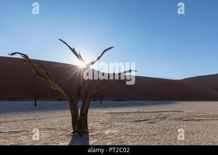 L'Afrique, la Namibie, Namib-Naukluft National Park, Deadvlei, dead acacia dans l'argile pan Banque D'Images