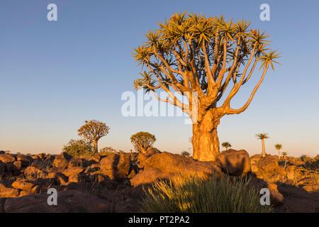 L'Afrique, la Namibie, Keetmanshoop, Quiver Tree Forest dans la lumière du soir Banque D'Images