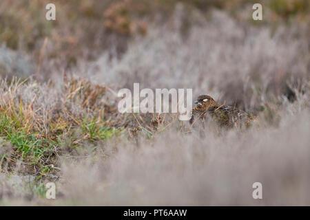 Lagopède des saules Lagopus lagopus scotica, femme, endormi entre les landes de bruyère, Glen Kyllachy, Highlands, Ecosse, Septembre Banque D'Images
