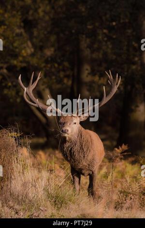 Richmond Park, Londres, UK. 7Th Oct 2018. Red Deer (Cervus elaphus) stag, mange de l'herbe, Richmond Park, Londres (séquence) Credit: Amanda rose/Alamy Live News Banque D'Images