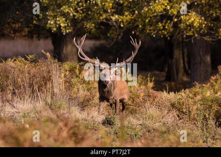 Richmond Park, Londres, UK. 7Th Oct 2018. Red Deer (Cervus elaphus) stag, durant la saison du rut, Richmond Park, London Crédit: Amanda rose/Alamy Live News Banque D'Images