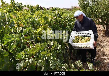 Sweida, la Syrie. 8 octobre, 2018. Un fermier moissonne raisin à son verger à la campagne de Sweida, en Syrie, le 7 octobre 2018. Les agriculteurs de Sweida province dans le sud de la Syrie, qui est bien connu pour avoir l'un des meilleurs raisins et le plus doux dans le pays, d'être accueillants la saison des récoltes pour les raisins chaque année autour de ce temps pour faire de la mélasse de raisin, l'aliment traditionnel qui a conservé sa popularité dans le sud de la Syrie. Credit: Ammar Safarjalani/Xinhua/Alamy Live News Banque D'Images