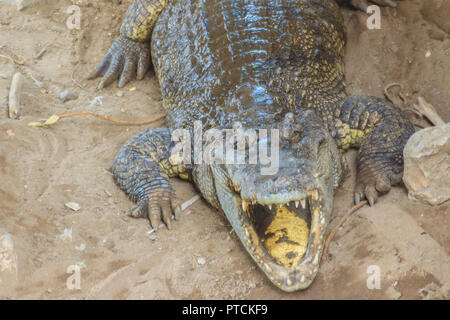 Grand crocodile est en marche s'assécher les marais. Le crocodile est l'exploration pour se prélasser. Banque D'Images