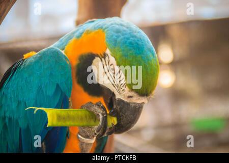 Cute blue-and-yellow macaw (Ara ararauna) est de manger des aliments. Il est également connu comme le bleu et or, Ara est un grand perroquet d'Amérique du Sud avec haut bleu p Banque D'Images