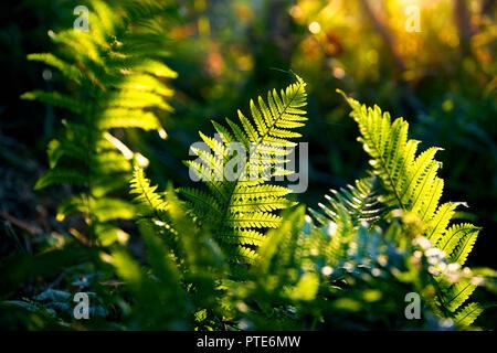 Beau feuillage vert fougères en forêt tropicale à la lumière du soleil. Banque D'Images