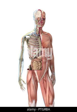 Illustration numérique de l'anatomie du corps humain Banque D'Images