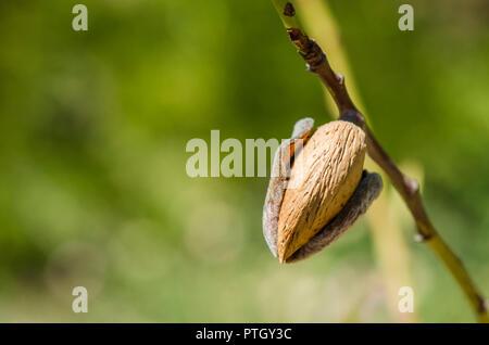 Sur un arbre d'amande, de l'Espagne. Banque D'Images