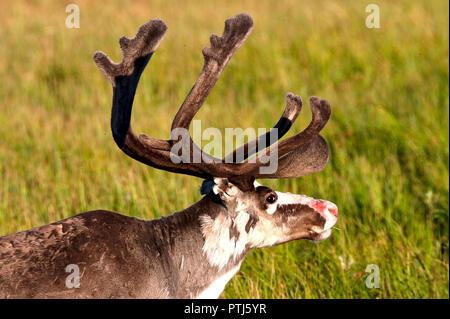Un renne mange de l'herbe en Laponie, Finlande