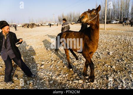 Uyghar farmer casser un colt au Mal Bazaar, le marché du bétail de Kashgar, Xinjiang, Chine Banque D'Images