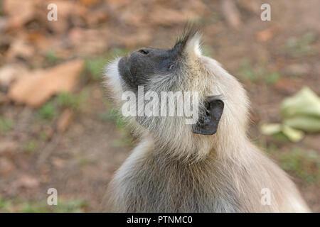 Langur à dans les arbres dans le Parc National de Kanha en Inde Banque D'Images