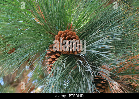 Fermé une paire de cône de pin accroché sur le pin, El Calafate, en Patagonie, Argentine Banque D'Images