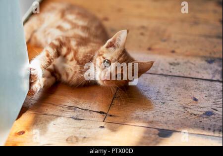 Adorable chaton tabby gingembre ludique portant sur un plancher de cuisine en bois.