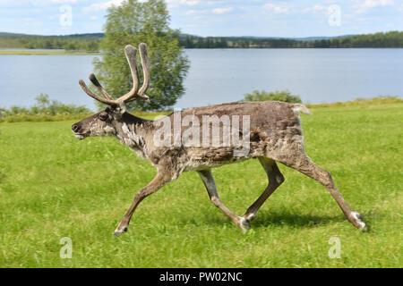 L'exécution des rennes (Rangifer tarandus) sur le pré vert. La Laponie finlandaise Banque D'Images