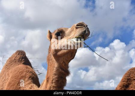Un ciel bleu magnifique ossature un dromadaire chameau de la mastication. Banque D'Images