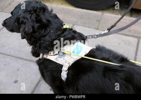 Black chien-guide pour les aveugles porte un harnais attendent patiemment dans la rue pour un bus UK KATHY DEWITT Banque D'Images