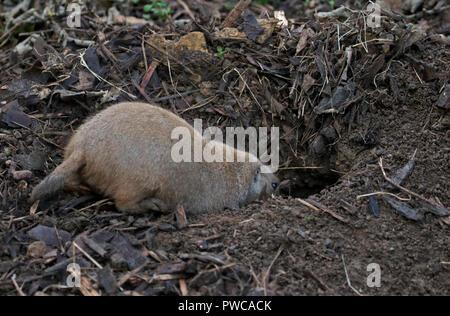 Black-Tailed Chien de prairie (Cynomys ludovicianus) creuser Banque D'Images