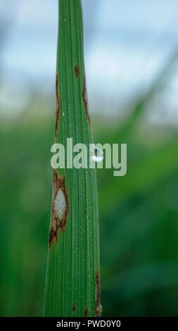 Les symptômes foliaires du riz Banque D'Images