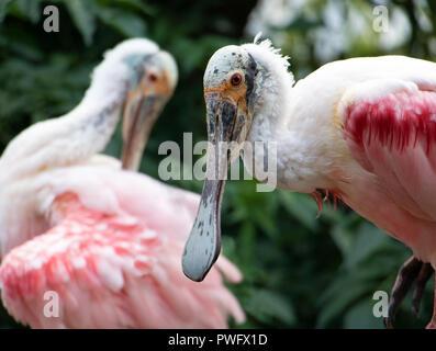 La paire de Roseate Spoonbill (Platalea Ajaja) dans la nature. Banque D'Images