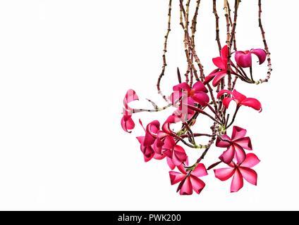 Close up of red tropical frangipani ou Plumeria flowers isolés contre un mur comme arrière-plan naturel avec espace pour copier Banque D'Images