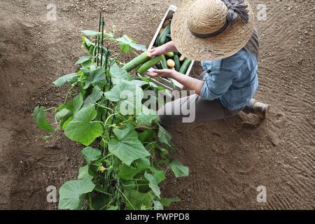 Productrice travaillant dans un potager, recueille un concombre dans coffret bois fort, vue du dessus sur les sols isolés Banque D'Images