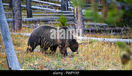Deux silvertip Yellowstone grizzli, une mère et son presque grandi cub, racine pour les larves et les insectes dans un pré juste au nord de Old Faithful Geyser B Banque D'Images