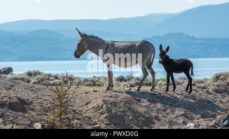 La mère et le bébé âne debout sur la colline de sable Banque D'Images