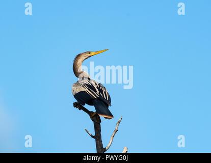 L'anhinga est perché sur le haut d'une branche contre le ciel bleu. Banque D'Images